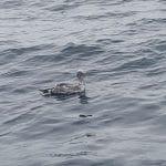 Swan Swimming in Sea Water